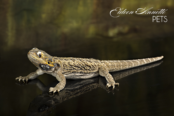 Pictures of Bearded Dragon