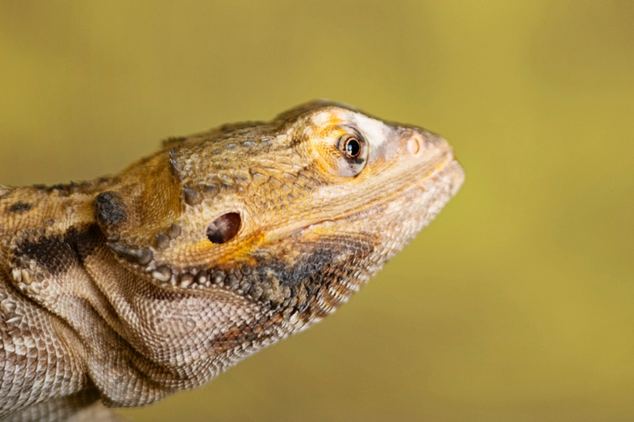 Bearded Dragon Pet